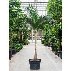 Пальма Вейчия Адонидия merrillii stem Диаметр горшка — 70 см Высота растения — 325 см