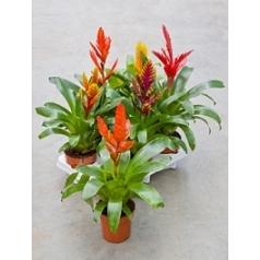 Вриезия mix Диаметр горшка — 12 см Высота растения — 50 см