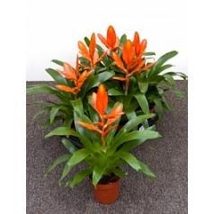 Вриезия intenso orange orange Диаметр горшка — 12 см Высота растения — 30 см