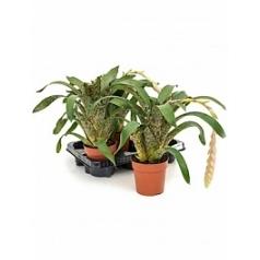 Вриезия lacy 3/tray Диаметр горшка — 12 см Высота растения — 30 см