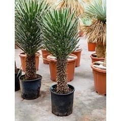 Юкка filifera stem (130-150) Диаметр горшка — 40 см Высота растения — 130 см