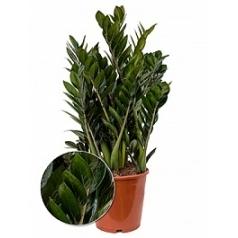 Замиокулькас super nova Диаметр горшка — 21 см Высота растения — 70 см