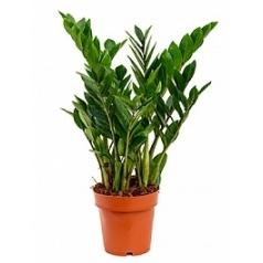 Замиокулькас zamiifolia tuft Диаметр горшка — 17 см Высота растения — 65 см