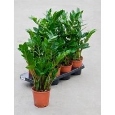 Замиокулькас zamiifolia 7/tray tuft Диаметр горшка — 14 см Высота растения — 50 см