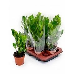 Замиокулькас zamiifolia 9/tray tuft Диаметр горшка — 10.5 см Высота растения — 45 см