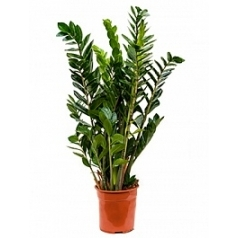 Замиокулькас zamiifolia tuft Диаметр горшка — 24 см Высота растения — 90 см