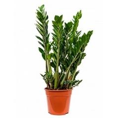 Замиокулькас zamiifolia tuft Диаметр горшка — 27 см Высота растения — 100 см