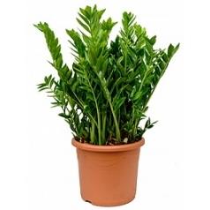Замиокулькас zamiifolia tuft Диаметр горшка — 50 см Высота растения — 110 см