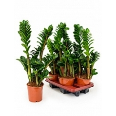 Замиокулькас zenzi tuft Диаметр горшка — 14 см Высота растения — 45 см