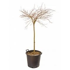 Клён palmatum baldsmith стебель Диаметр горшка — 50 см Высота растения — 150 см