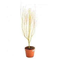 Клён palmatum bi-hoo branched Диаметр горшка — 28 см Высота растения — 140 см