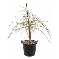 Клён palmatum dissectum branched Диаметр горшка — 45 см Высота растения — 130 см