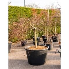 Клён palmatum garnet branched Диаметр горшка — 80 см Высота растения — 150 см
