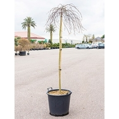 Клён palmatum orangeola стебель Диаметр горшка — 50 см Высота растения — 200 см