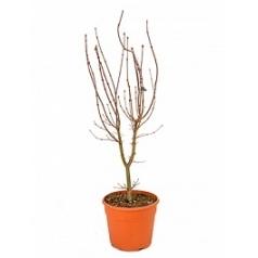 Клён palmatum pixie branched Диаметр горшка — 28 см Высота растения — 110 см