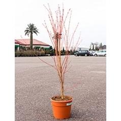 Клён palmatum sangokaku branched Диаметр горшка — 28 см Высота растения — 140 см