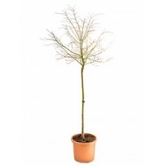 Клён palmatum shirazz стебель Диаметр горшка — 35 см Высота растения — 200 см