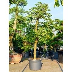 Бугенвиллея branched (без цветов) Диаметр горшка — 50 см Высота растения — 250 см