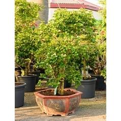 Бугенвиллея branched (без цветов) Диаметр горшка — 75/65 см Высота растения — 160 см