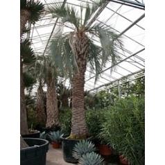 Бутия (пальма) capitata стебель Диаметр горшка — 140 см Высота растения — 700 см