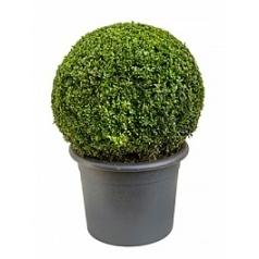 Самшит вечнозелёный boll (50-55) Диаметр горшка — 36 см Высота растения — 75 см