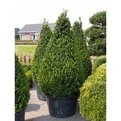 Самшит вечнозелёный rotundifolia пирамида extra square Диаметр горшка — 100 см Высота растения — 230 см