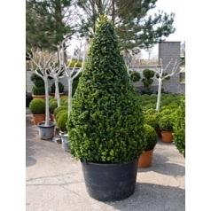 Самшит вечнозелёный rotundifolia пирамида extra Диаметр горшка — 100 см Высота растения — 230 см