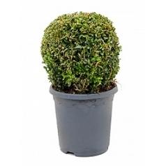 Самшит вечнозелёный шар (20-25) Диаметр горшка — 19 см Высота растения — 35 см