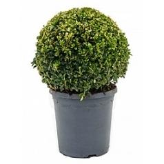Самшит вечнозелёный шар (25+) Диаметр горшка — 23 см Высота растения — 45 см