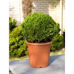 Самшит вечнозелёный шар (30-35) Диаметр горшка — 26 см Высота растения — 55 см