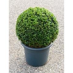Самшит вечнозелёный шар (35+) Диаметр горшка — 33 см Высота растения — 60 см