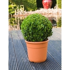 Самшит вечнозелёный шар (40+) Диаметр горшка — 30 см Высота растения — 60 см