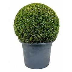 Самшит вечнозелёный шар (45+) Диаметр горшка — 36 см Высота растения — 70 см
