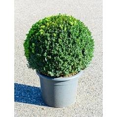 Самшит вечнозелёный шар (50+) Диаметр горшка — 40 см Высота растения — 80 см
