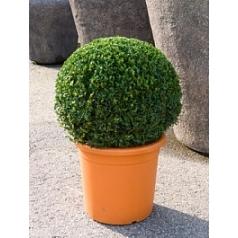 Самшит вечнозелёный шар (60-65) Диаметр горшка — 45 см Высота растения — 90 см