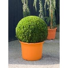 Самшит вечнозелёный шар (70+) Диаметр горшка — 55 см Высота растения — 100 см