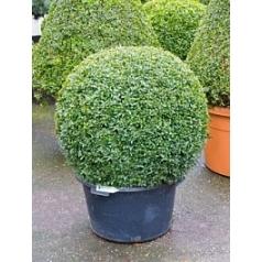 Самшит вечнозелёный шар (80+) Диаметр горшка — 60 см Высота растения — 100 см