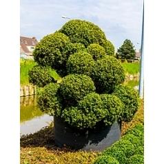 Самшит вечнозелёный бонсай Диаметр горшка — 120 см Высота растения — 180 см