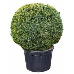 Самшит вечнозелёный куст (110-120) Диаметр горшка — 80 см Высота растения — 160 см