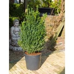 Самшит вечнозелёный куст Диаметр горшка — 30 см Высота растения — 90 см