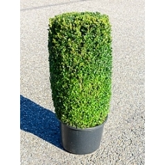 Самшит вечнозелёный цилиндр Диаметр горшка — 44 см Высота растения — 110 см