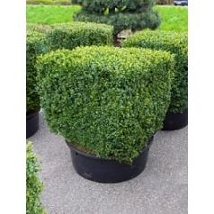 Самшит вечнозелёный квадрат 100/100/80 Диаметр горшка — 80 см Высота растения — 120 см