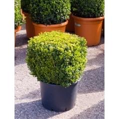 Самшит вечнозелёный квадрат 40/40 Диаметр горшка — 35 см Высота растения — 60 см