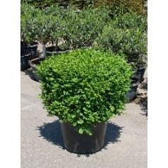 Самшит вечнозелёный квадрат 50/50 Диаметр горшка — 45 см Высота растения — 80 см