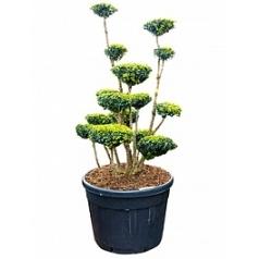 Самшит вечнозелёный multi boll Диаметр горшка — 70 см Высота растения — 160 см
