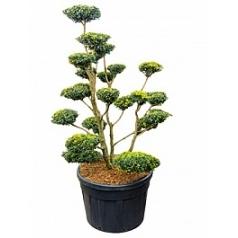 Самшит вечнозелёный multi boll Диаметр горшка — 80 см Высота растения — 200 см