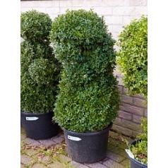 Самшит вечнозелёный multi стебель Диаметр горшка — 45 см Высота растения — 125 см