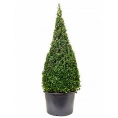 Самшит вечнозелёный пирамида (140) Диаметр горшка — 50 см Высота растения — 170 см
