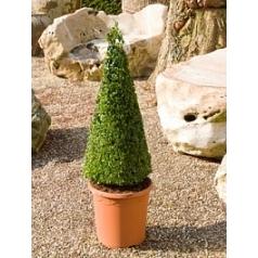 Самшит вечнозелёный пирамида (60+) Диаметр горшка — 27 см Высота растения — 90 см