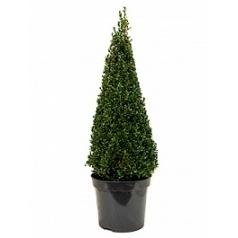 Самшит вечнозелёный пирамида (90+) Диаметр горшка — 30 см Высота растения — 120 см